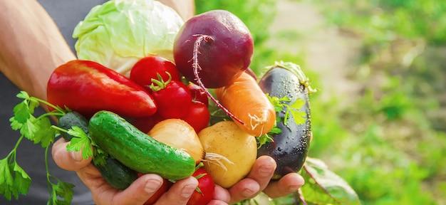 Домашние овощи в руках мужчин. урожай. выборочный фокус.