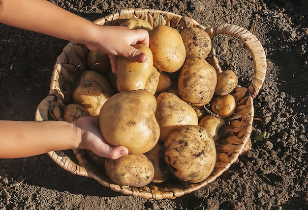 有機自家製野菜はジャガイモを収穫します。セレクティブフォーカス