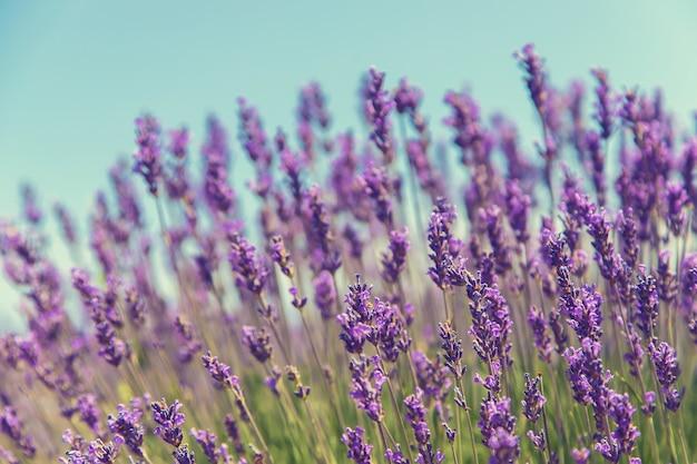 咲くラベンダー畑。夏の花