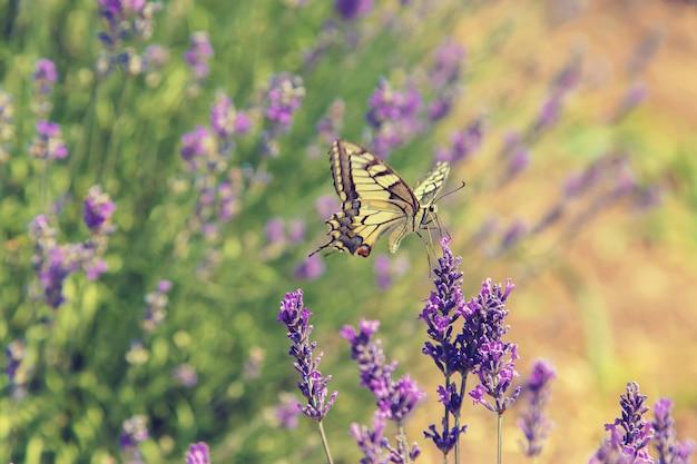 咲くラベンダー畑。花を蝶します。