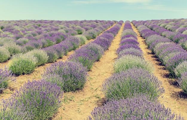 Цветущее лавандовое поле. летние цветы.