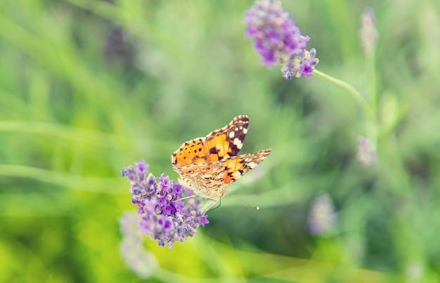 咲くラベンダー畑。花を蝶します。セレクティブフォーカス