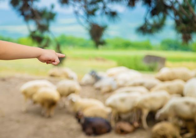 子供が羊の群れを見ます。ジョージア州を旅行します。