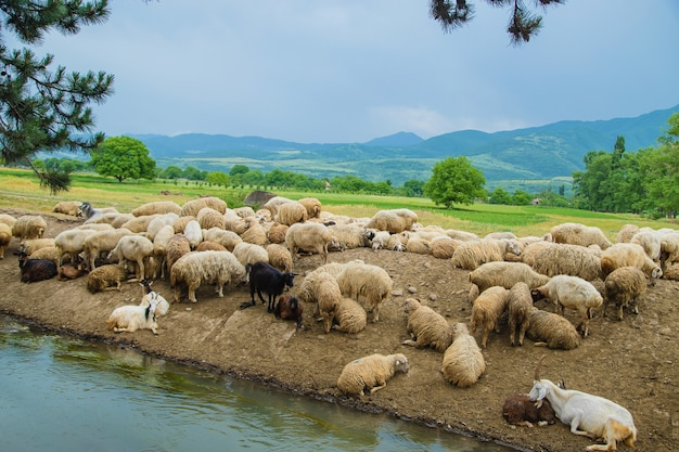 山の中で羊の群れジョージア州を旅行します。