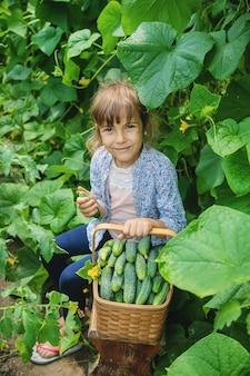 Домашнее выращивание огурца и сбор урожая в руках ребенка.