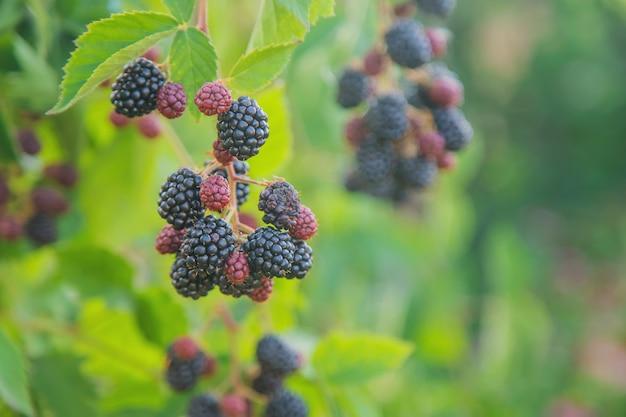 庭の茂みにブラックベリーの果実
