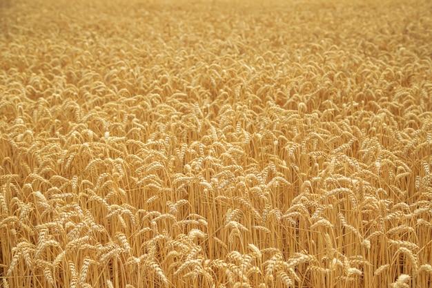 晴れた日に麦畑。