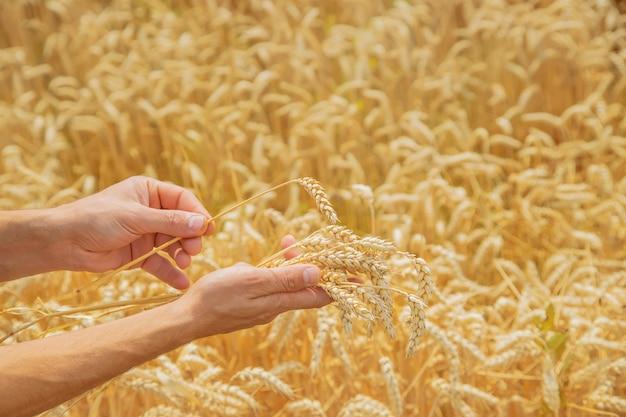 彼の手に小麦の小穂を持つ男。