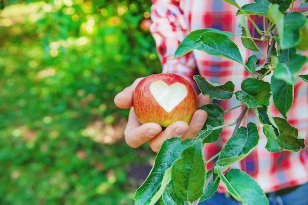 Человек садовник собирает яблоки в саду в саду