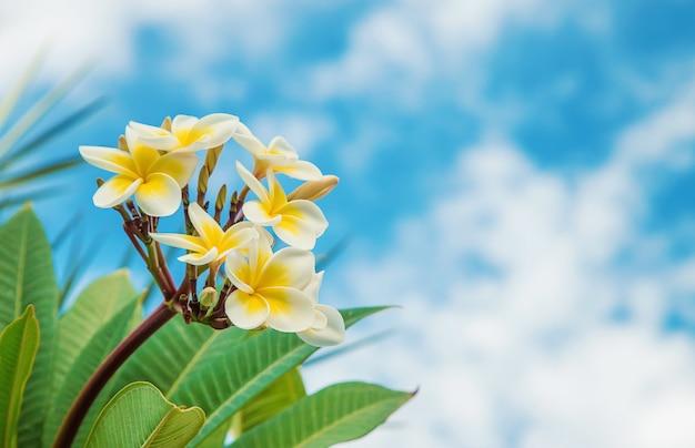 空を背景に咲くプルメリアの花。セレクティブフォーカス