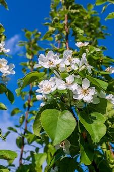 青い空を背景に咲くりんごの木、白い花
