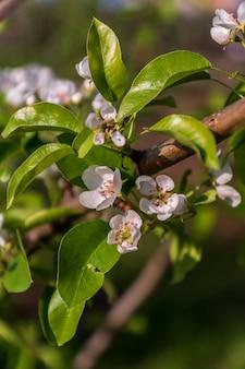 咲くアップルツリー