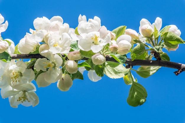 咲くりんごの木、白い花