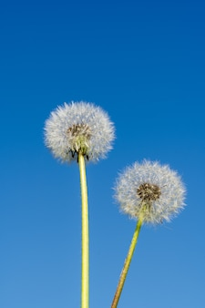 夏の抽象的な概念。青い背景にタンポポの花。
