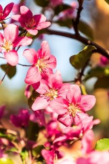 青い空を背景に、春に咲くりんごの木、ピンクの花。