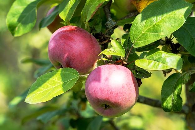 熟したリンゴの果実が木の上で成長する夏の時間。