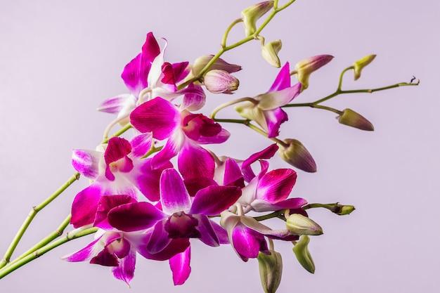 Фиолетовый цветок орхидеи на розовом фоне; в помещении.