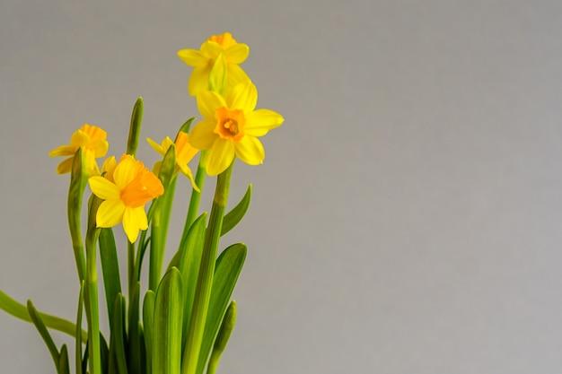 薄緑色の背景に美しい黄色い水仙水仙の花。