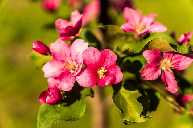 緑の背景、春に対して咲くりんごの木、ピンクの花。