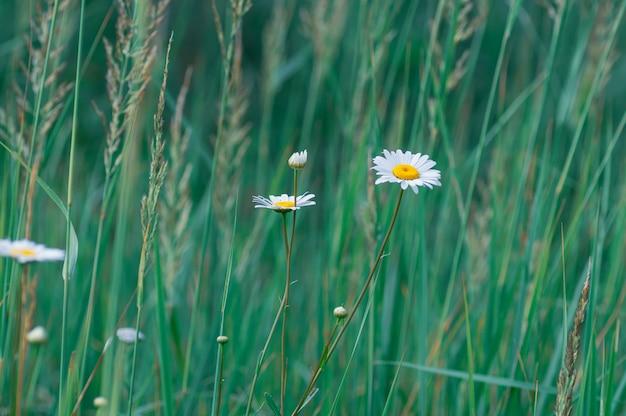 緑の芝生の上の白い大規模なデイジーの花。