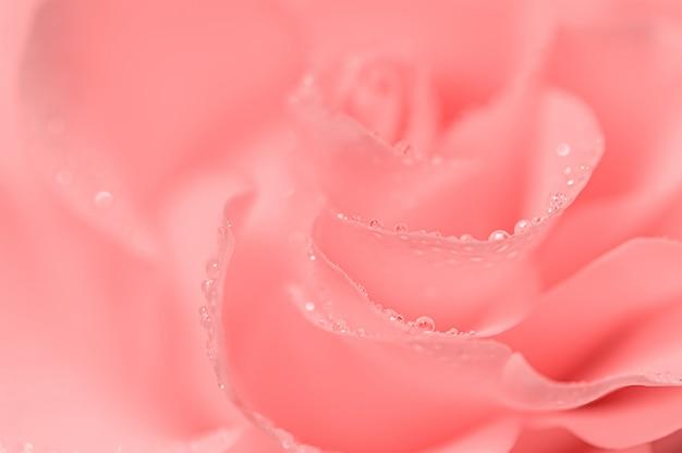 繊細なピンクのバラのクローズアップ。抽象的な背景をぼかし、露の滴。