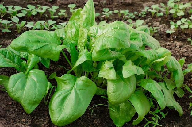 有機ほうれん草は庭で成長する。健康食品。ベジタリアン