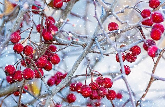 枝に熟したサンザシの果実。セレクティブフォーカス。閉じる。