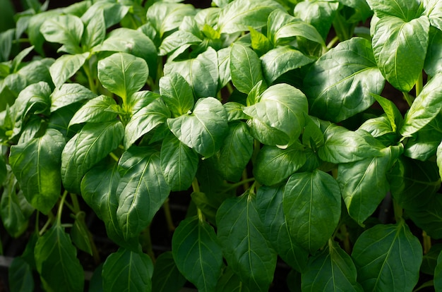 コショウの苗、クローズアップ若い葉、春の背景。苗の苗
