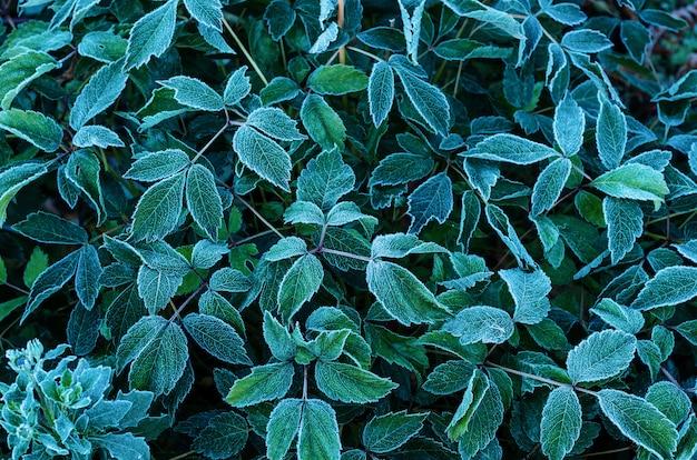 Фон из зеленых листьев, покрытых инеем