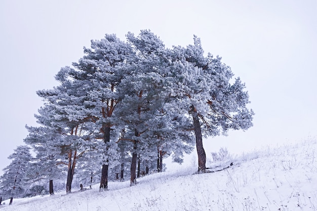 Зимний пейзаж, сосны покрыты инеем. новогодний фон