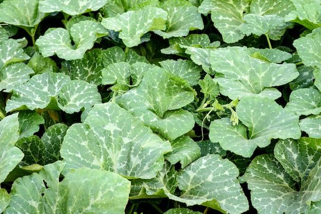 家のプロット上のカボチャブッシュの明るい緑の葉