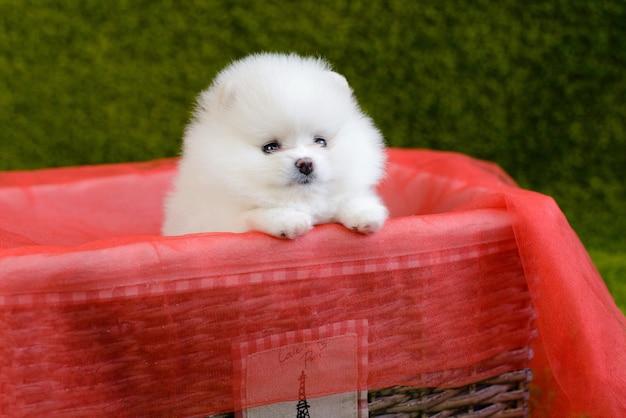 小さなポメラニアンスピッツ犬子犬。背景として使用することができます