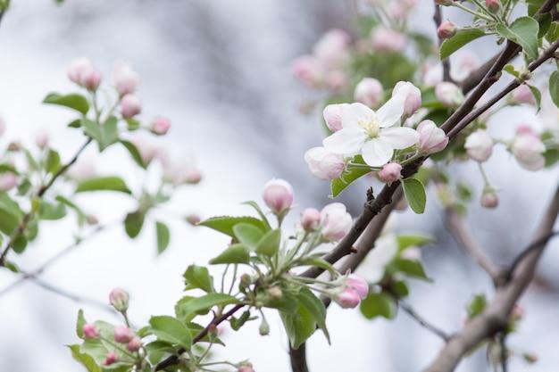 春、背景のりんごの木の美しい花