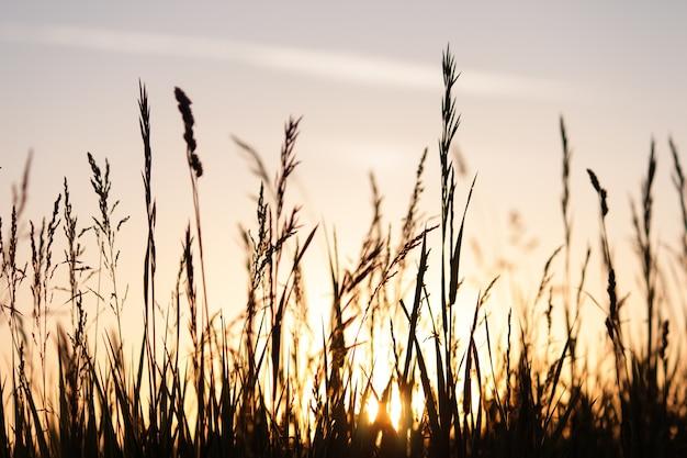 日没の小麦、花および芝生のフィールド。夏の自然の背景。