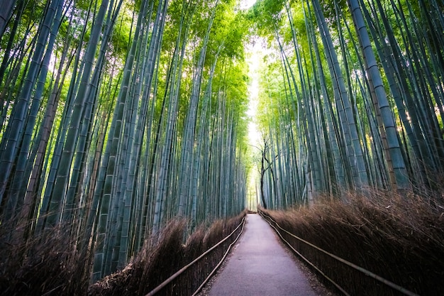 Красивый пейзаж бамбуковой рощи в лесу в арасияма киото