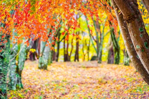 秋の美しいカエデの葉の木