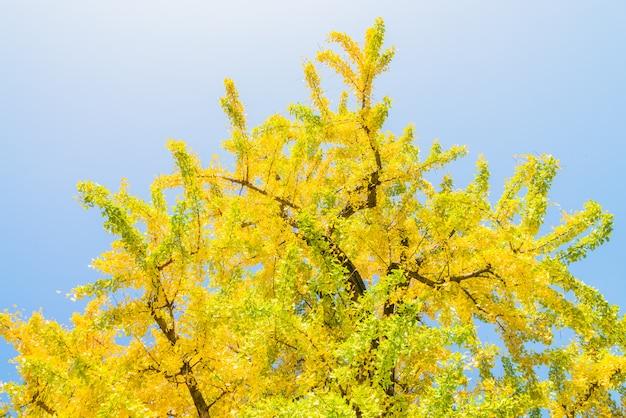 Дерево гинкго в японии