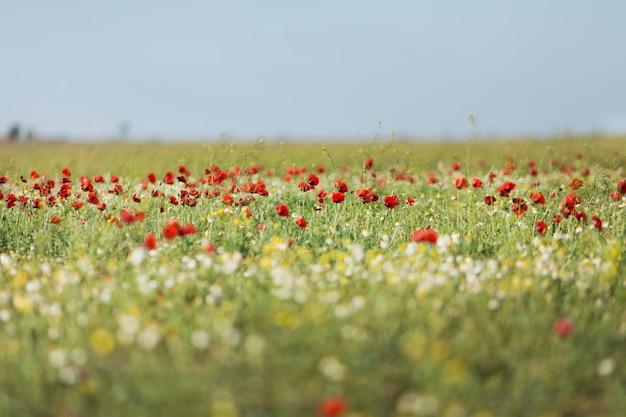 トウモロコシのケシの花のフィールド