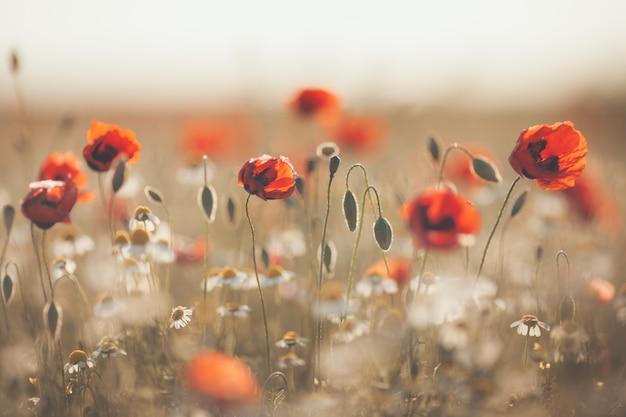 トウモロコシの花ケシの花