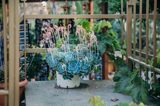 Цветущая эхеверия сетоса. эчеверия красных цветов. мексиканский пожарный взломщик. мексиканская роза сочная. горшечное растение в саду снаружи