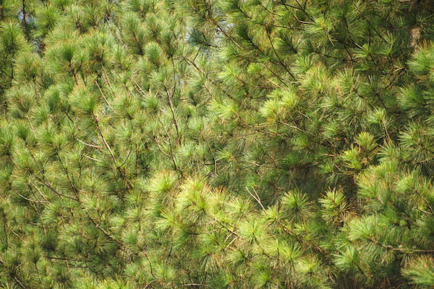 松林の林の背景。