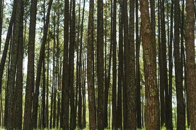 松の木の背景、緑の森。