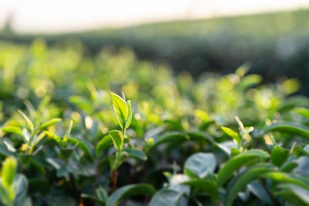 緑茶の木のてっぺん。