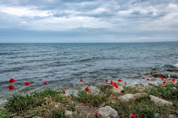 Ярко-красные цветы маков на крутом берегу севастопольской бухты черного моря крыма.