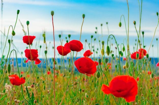 緑の草の背景に素敵なぼかしボケ味を持つ野生の赤いケシの花が咲く