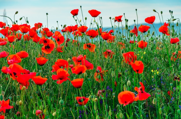 Блум дикие красные цветы мака с красивым размытым боке
