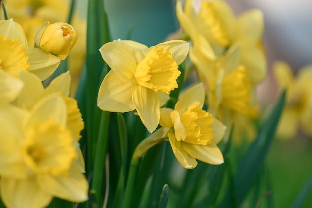 春のイースターに満開の水仙