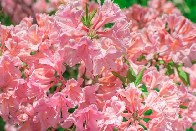 ピンク色の玉ねぎの花のクローズアップ。