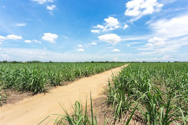 タイのサトウキビ農場の間に農場に行く土砂道
