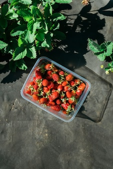 日没の女性ハンの間に屋外の庭で提出されたイチゴ